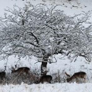 Fallow Bucks in Snow