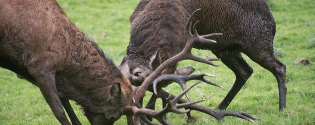 Red Deer Rut Watch – Killarney National Park, Sunday October 13th 2019