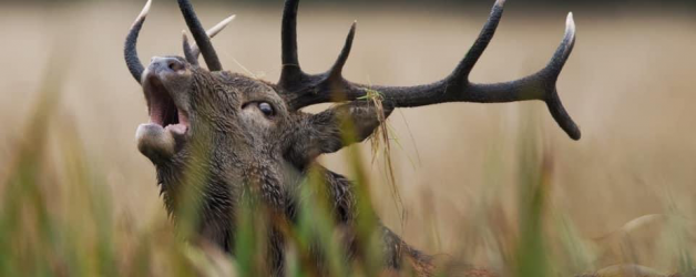 Virtual Red Deer Rut Event in Killarney National Park is now available to watch online