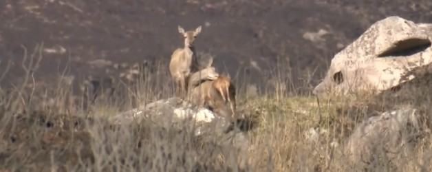 Devastating Killarney National Park Fire and the Consequences for Wild Deer